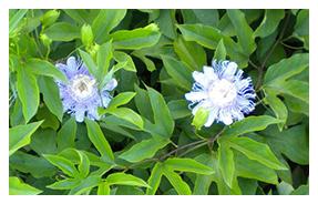 Passiflora Incarnate