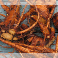 Yellodock root