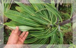 lobelia-leaves-Herbs